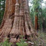 California - Calaveras Big Trees State Park